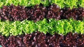 Culticime-laituelollorossa01_preview